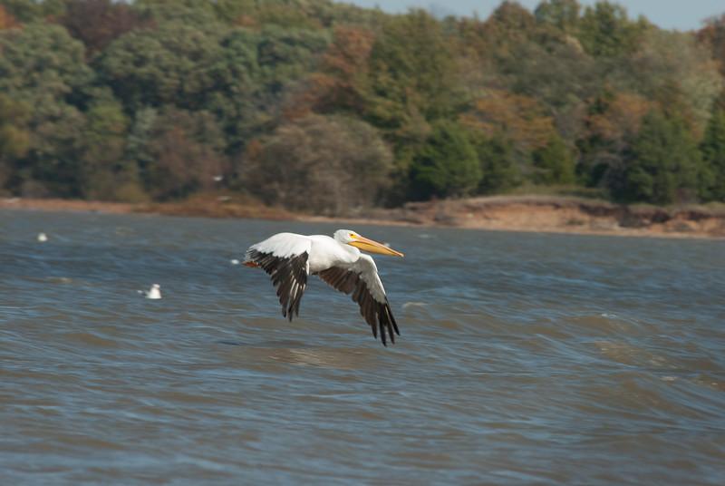 American  Pelican (11)