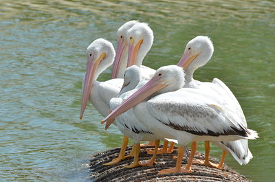 Beautiful white pelicans - #6996