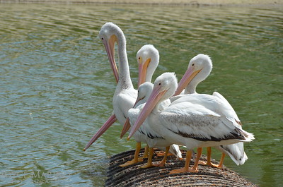 Beautiful white pelicans - #6986