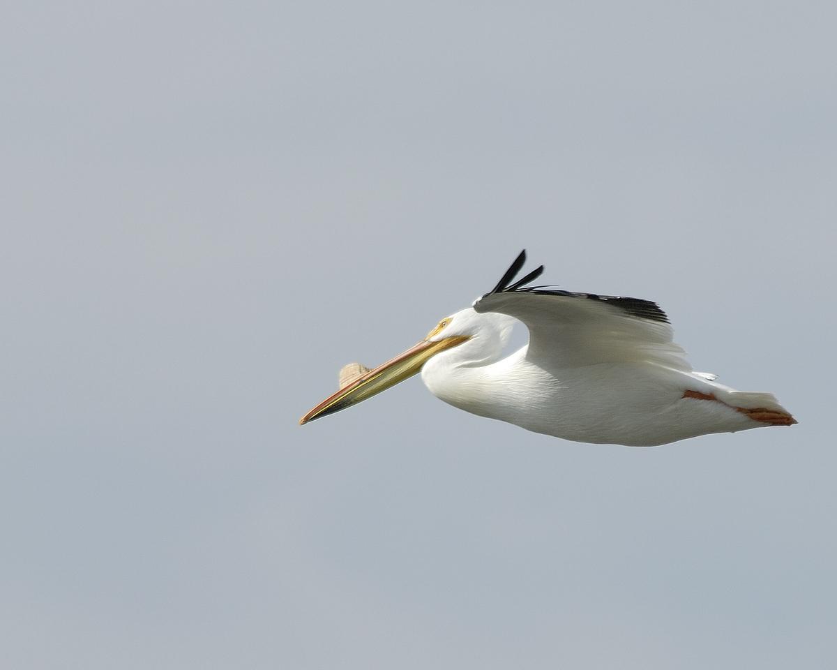American Pelican (14)