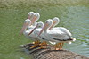 Beautiful white pelicans - #6967
