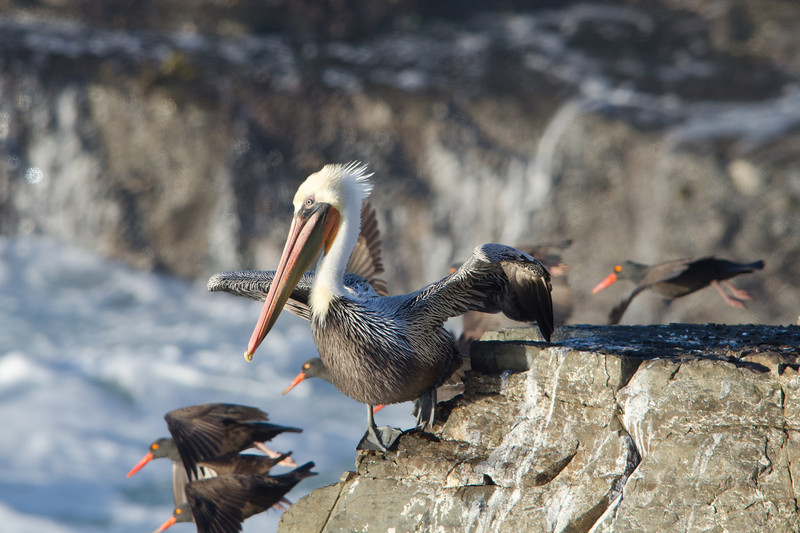 Pelican and Oyster-catchers taking flight