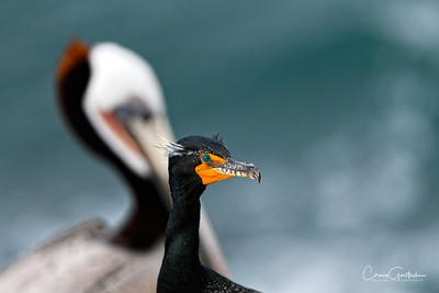 Double-crested Cormorant and Brown Pelican