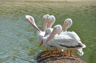 Beautiful white pelicans - #6983