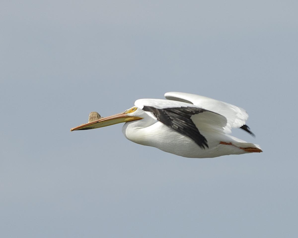 American Pelican (13)
