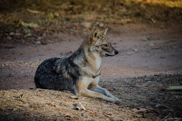 Jackal, Pench National Park