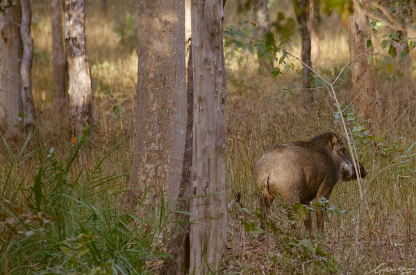Wild boar, Pench National Park