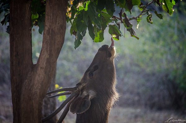 Hungry kya? Sambar, Pench National Park