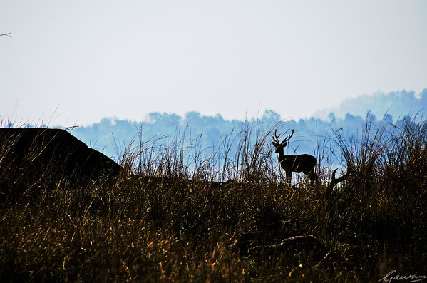 Chital, Pench National Park