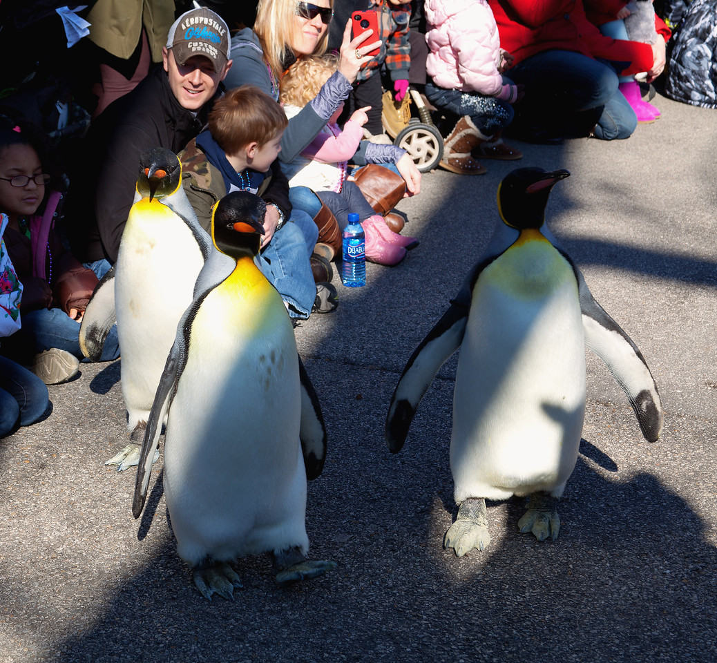 Penguin Parade 2012, St. Louis Zoo