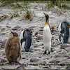 King Penguins, Adults and a Chick, early November, Falkland Islands
