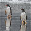 Gentoo Penguins Coming Ashore, Falkland Islands