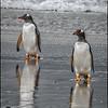 Gentoo Penguins Coming Ashore, Falkland Islands