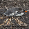 Gentoo Penguin on It's Nest, Falkland Islands