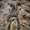 Humbolt Penguins, Islas Ballestas, off the coast of Peru