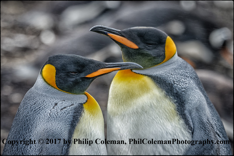 King Penguin Parents At Rest