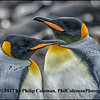 King Penguin Parents At Rest