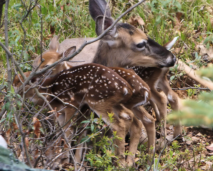 Three newborn baby fawns... born to this mother Whitetail Doe.