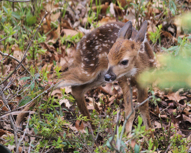 Just born baby fawn trying to take first step.