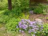 Wild Blue Phlox<br /> Wild Blue Phlox Wildflower Garden Mountain Meadows, Bedford County, PA