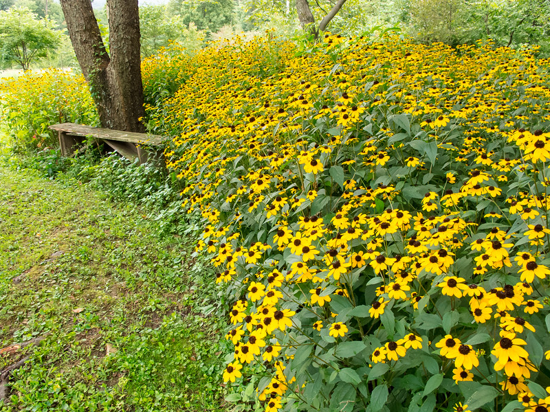 Border of Brown-eyed Susans <br /> Brown-eyed Susans Mountain Meadows Bedford County, PA
