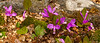 Pink Perfection<br /> Pink Perfection, Fringed Polygala, Bilger's Rocks, Clearfield County, PA