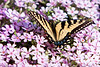 Tiger Swallowtail on Creeping Phlox<br /> Tiger Swallowtail on Creeping Phlox Mountain Meadows, Bedford County, PA