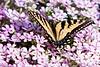 Tiger Swallowtail on Creeping Phlox<br /> Tiger Swallowtail on Creeping Phlox Mountain Meadows, Bedford County, PA