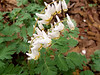 Dutchman's Breeches<br /> Dutchman's Breeches Bedford County, PA