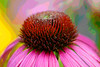 Purple Coneflower<br /> Purple Coneflower Mountain Meadows, Bedford Co., PA