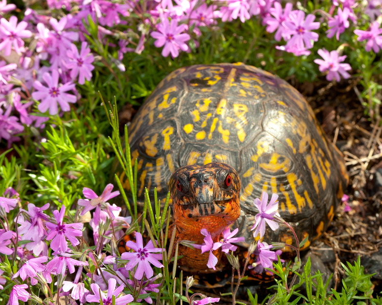 Box Turtle in Creeping Phlox<br /> Box Turtle in Creeping Phlox, Mountain Meadows, Bedford County, PA