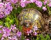 Box Turtle in Creeping Phlox<br /> Box Turtle in Creeping Phlox, Mountain Meadows, Bedford County, PA