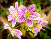 Spring Beauties<br /> Spring Beauties, Mountain Meadows, Bedford County, PA