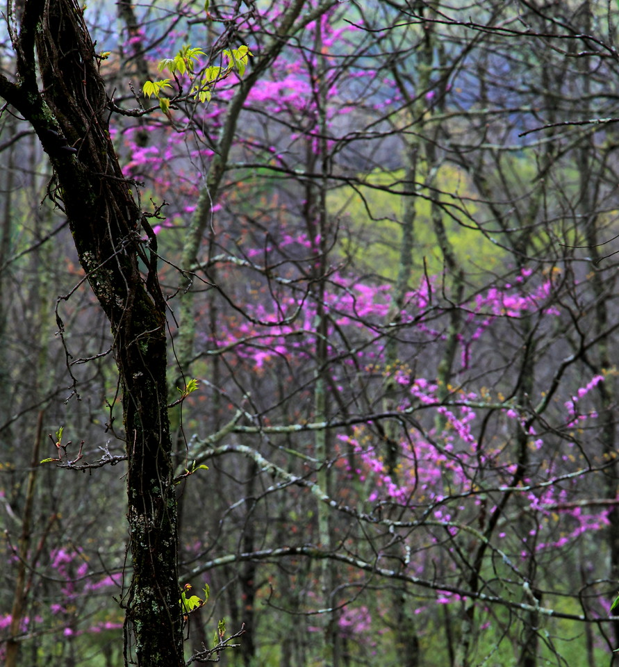 New leaves in spring forest with redbuds.