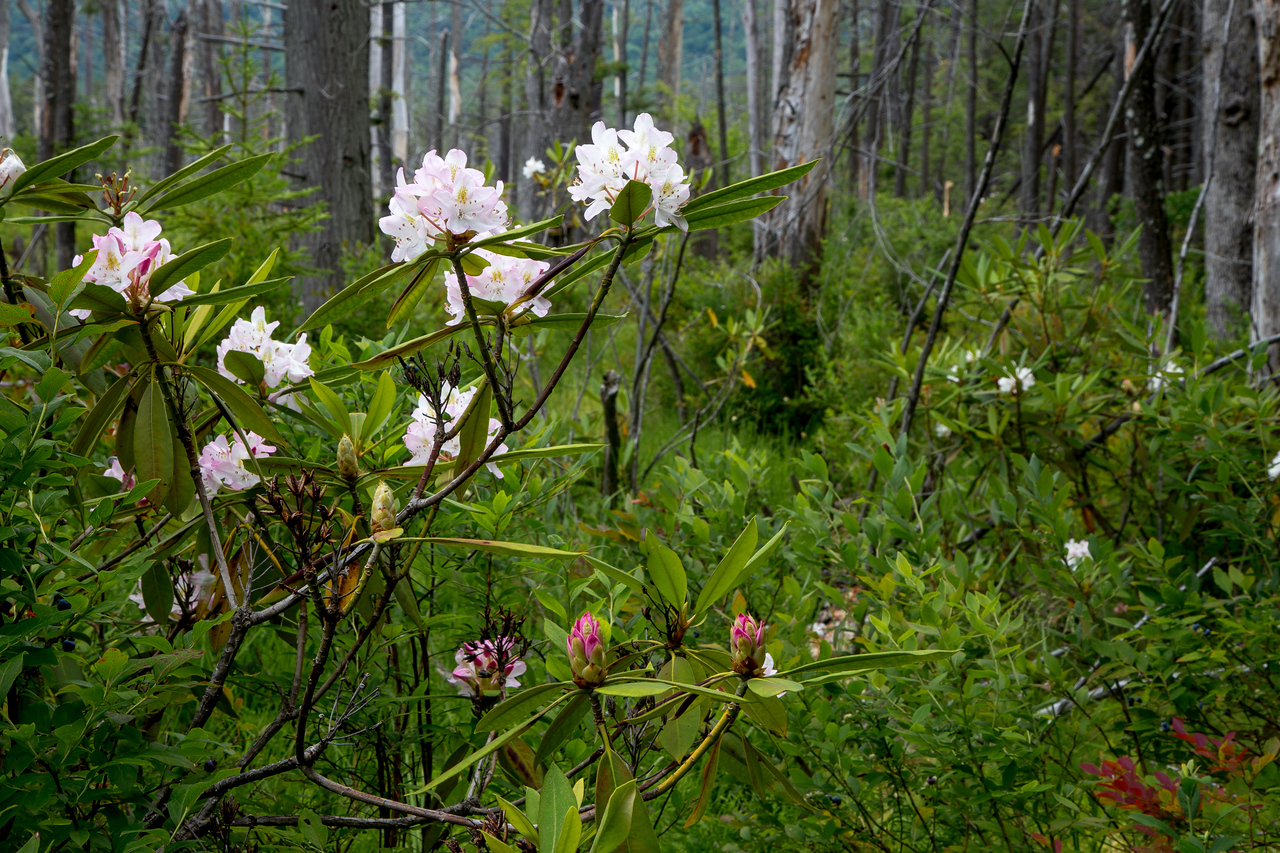 Rhododendrons in the bog at Bear Meadows, Rothrock State Forest