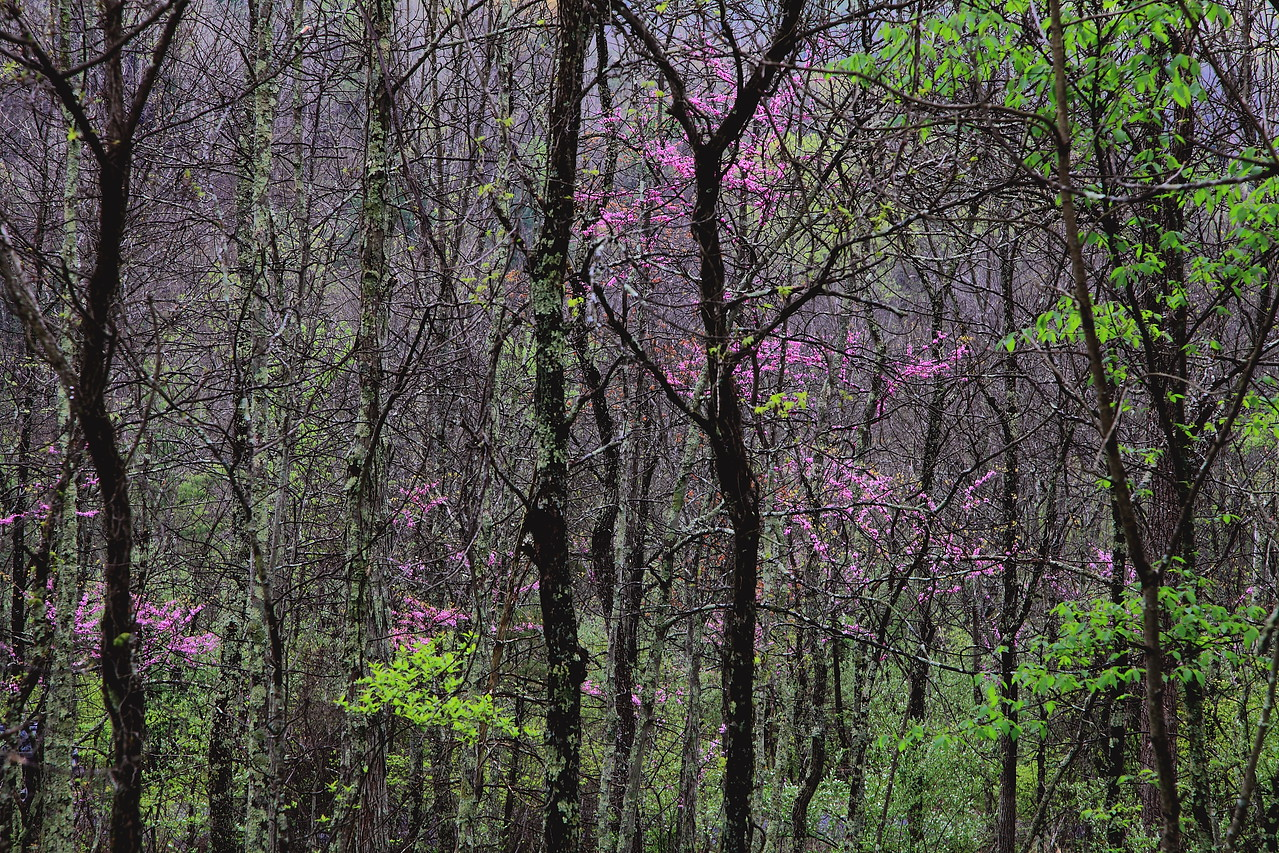 Pennsylvania upland forest with red bud trees, darker version