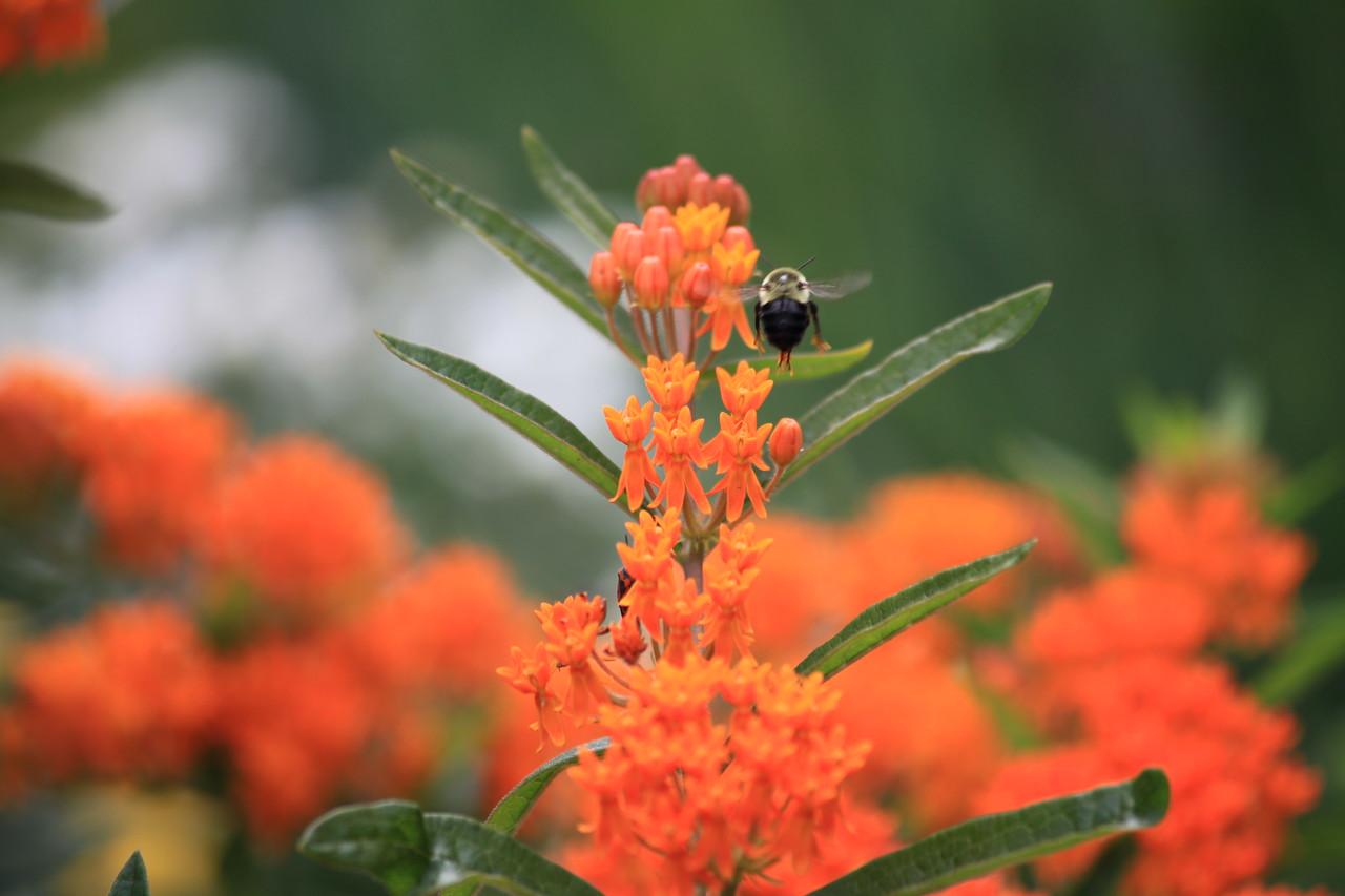 Bumblebee (Bombus impatiens) approaching flowers of Orange Milkweed (Asclepias tuberosa).