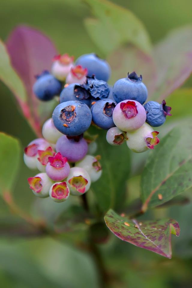 HIgh bush blueberry