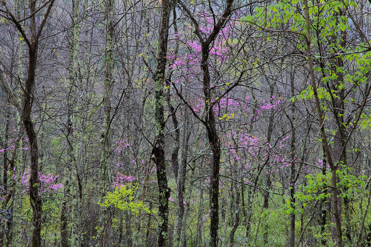 Pennsylvania upland forest with red bud trees
