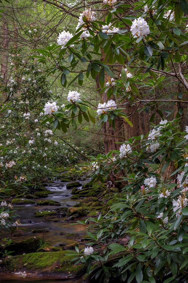 Rhododendrons in full bloom along a small forest stream, Rothrock State Forest
