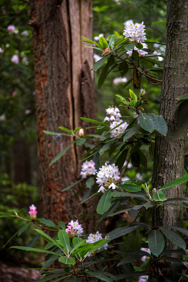 Wild rhododendrons, Rothrock State Forest