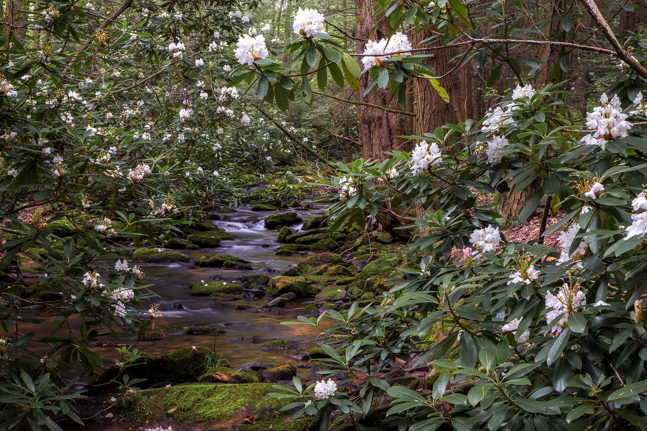 Rhododendrons in full bloom; July