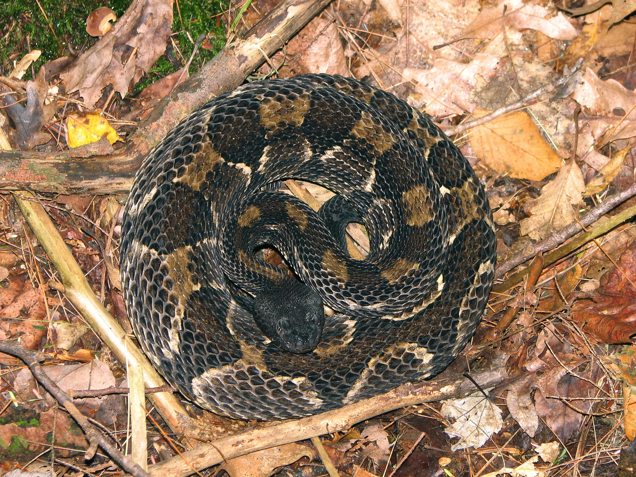 Timber rattlesnake on fall day near Penn's Creek.  It was a calm and docile snake despite its fearsome looks.