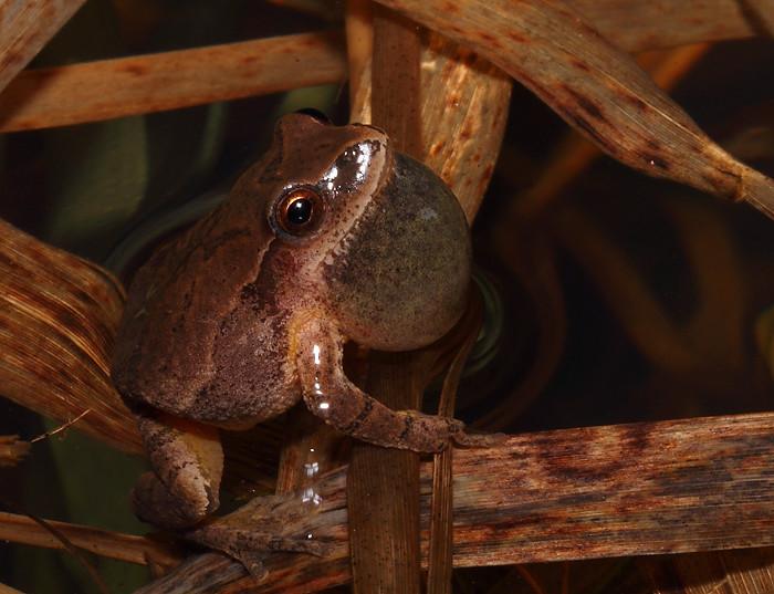 Singing male spring peeper