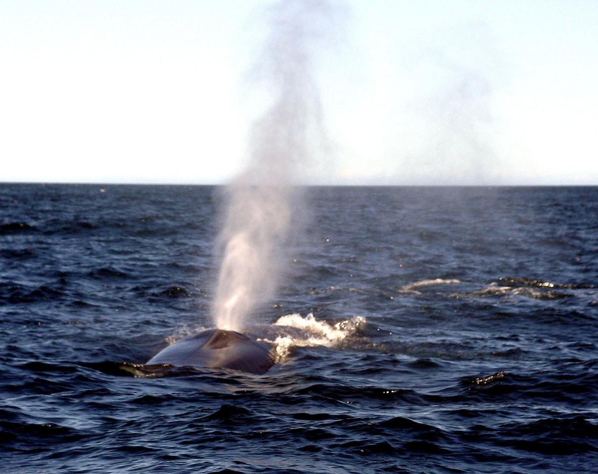 Breathing<br /> 每隔7、8分钟,鲸鱼会浮出水面呼吸。这是唯一发现它们的机会。
