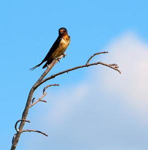 Barn Swallow  07 31 09  030 - Edit