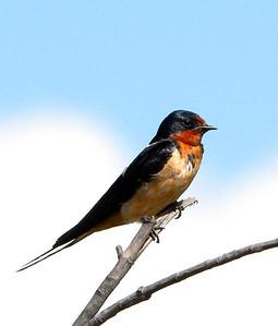 Barn Swallow  07 31 09  037 - Edit - Edit