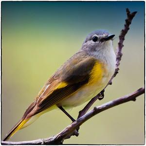 American Redstart female  05 09 11  027 - Edit - Edit