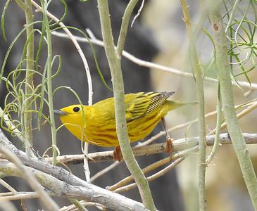 Yellow Warbler (Setophaga petechia) - Male