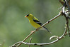 American Goldfinch (Spinus tristis) - breeding male